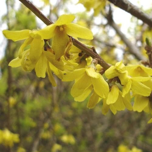 Forsythia x intermedia Spectabilis - Future Forests