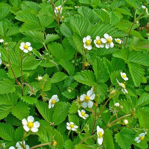 Fragaria vesca - Wild Strawberry - Future Forests