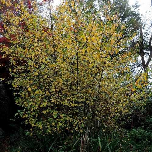 Frangula alnus - Alder Buckthorn - Future Forests