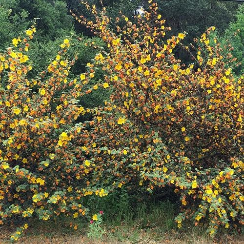 Fremontodendron California Glory
