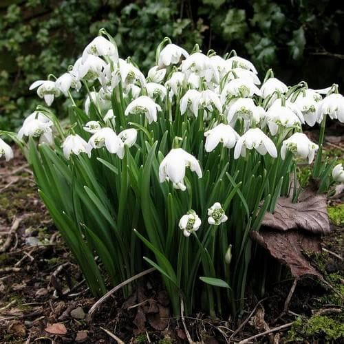 Galanthus nivalis Flore Pleno - Double Snowdrop - Future Forests