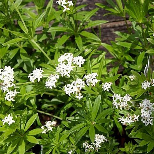 Galium odoratum - Future Forests