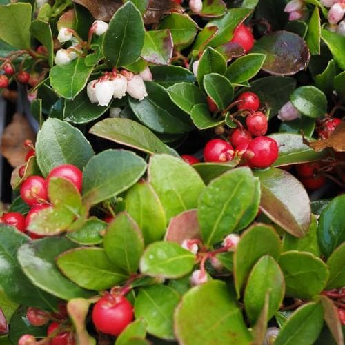 Gaultheria procumbens - Future Forests
