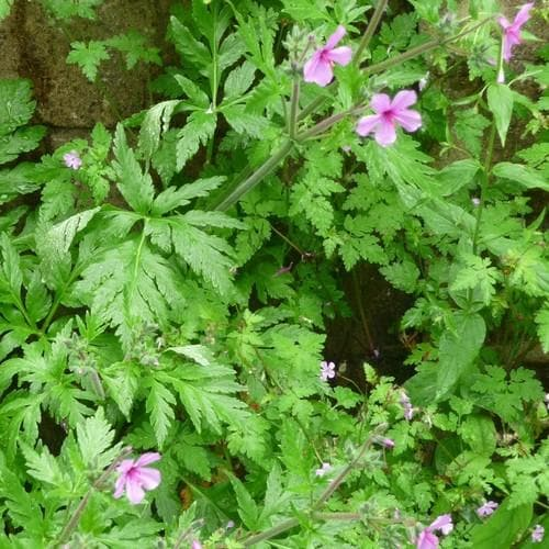 Geranium palmatum AGM - Future Forests