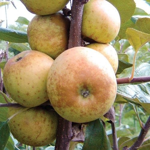 Apple Gibbon Russet - Future Forests