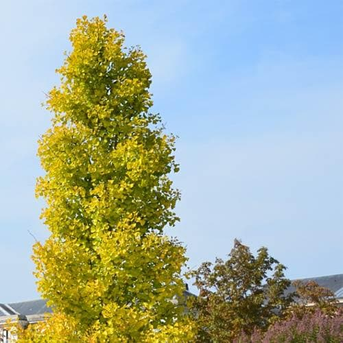 Ginkgo biloba Blagon - Future Forests