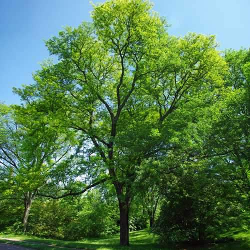 Gleditsia tri Sunburst - Future Forests