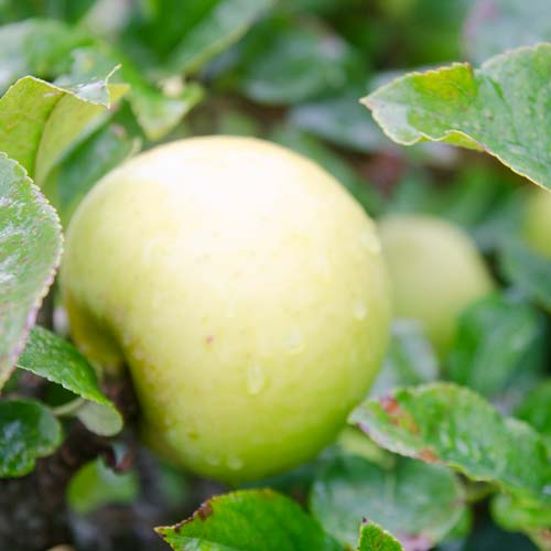 Apple Golden Noble - Future Forests