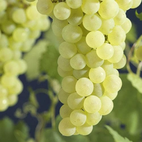 Grape Vroege van der Laan, Indoor or Outdoor, Seeded - Future Forests