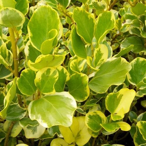 Griselinia littoralis Variegata - Future Forests