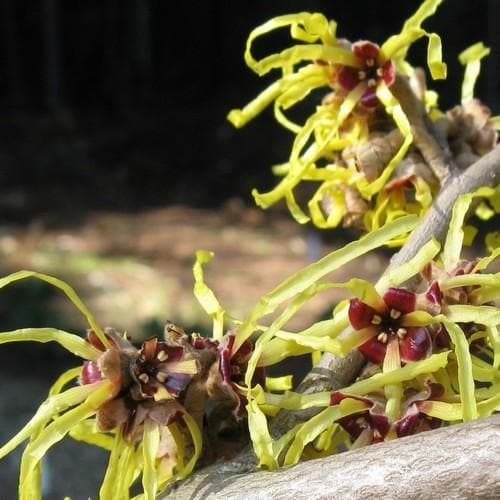 Hamamelis x intermedia Pallida - Future Forests
