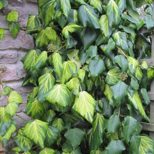 Hedera colchica Paddy's Pride (Sulpher Heart)