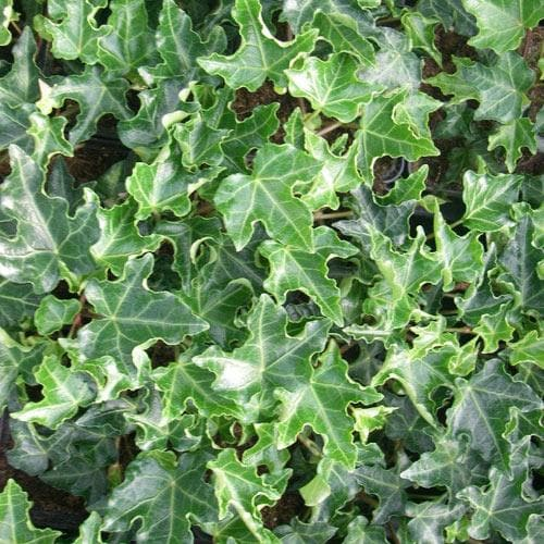 Hedera helix Ivalace