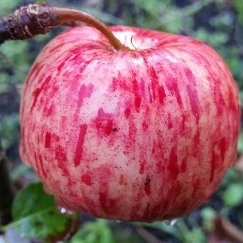 Apple Herefordshire Redstreak - Future Forests