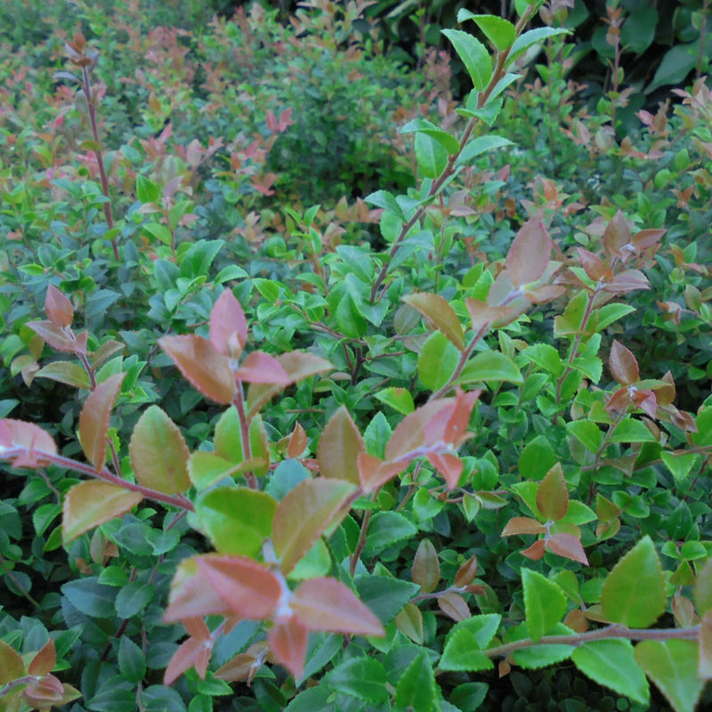 Huckleberry - Vaccinium ovatum Morris - Future Forests