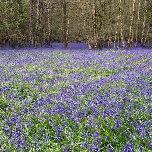 Hyacinthoides non-scripta - Bluebell - Future Forests
