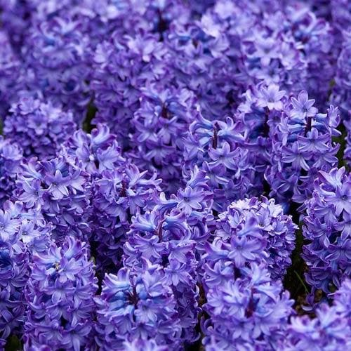 Hyacinthus orientalis Delft Blue - Future Forests
