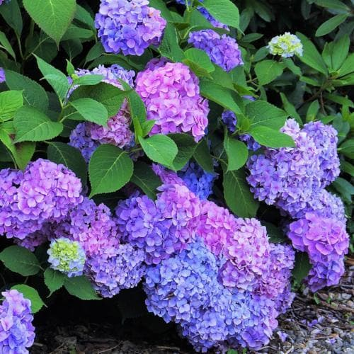 Hydrangea macrophylla Renate Steiniger - Future Forests