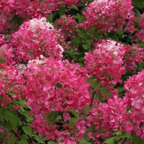 Hydrangea paniculata Diamant Rouge - Future Forests