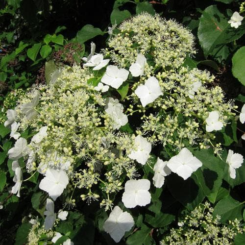 Hydrangea petiolaris - Future Forests