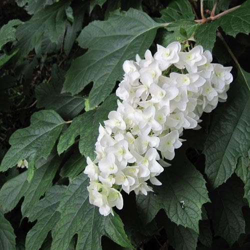 Hydrangea quercifolia Snow Queen - Future Forests