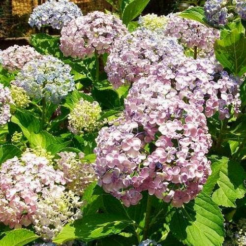 Hydrangea macrophylla Ayesha - Future Forests