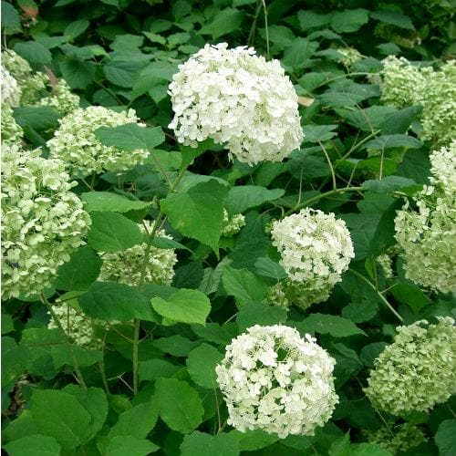 Hydrangea arborescens Annabelle - Future Forests