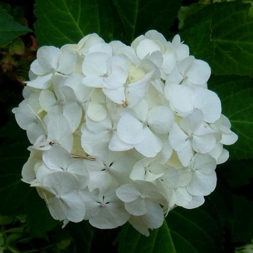 Hydrangea macrophylla Mme Emile Mouillere - Future Forests