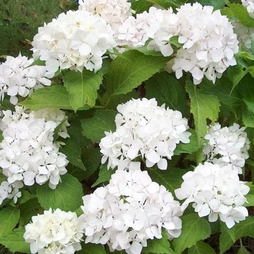 Hydrangea macrophylla Soeur Therese - Future Forests