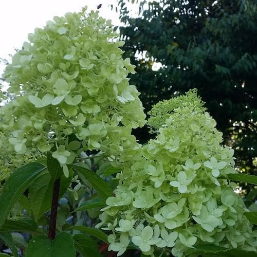 Hydrangea paniculata Limelight® - Future Forests