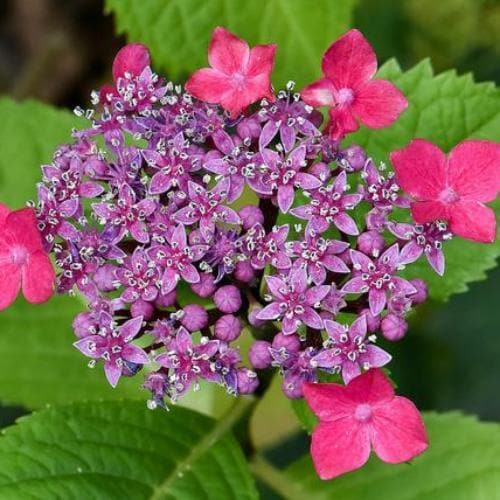 Hydrangea macropylla Teller Red - Future Forests