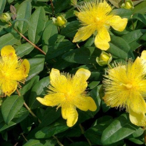 Hypericum calycinum - Future Forests