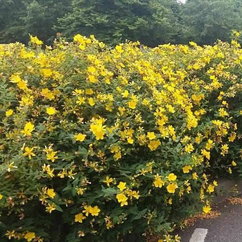 Hypericum x hidcoteense Hidcote - Future Forests