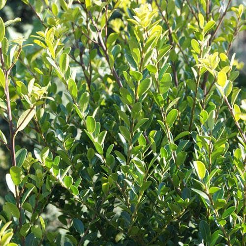 Ilex crenata Green Hedge - Japanese Holly - Future Forests