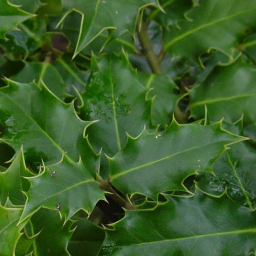 Ilex aquifolium - Holly - Future Forests
