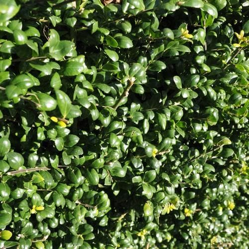 Ilex crenata Convexa - Japanese Holly - Future Forests