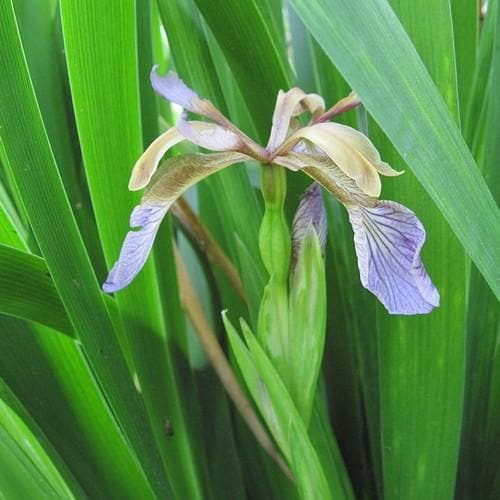 Iris foetidissima AGM - Future Forests