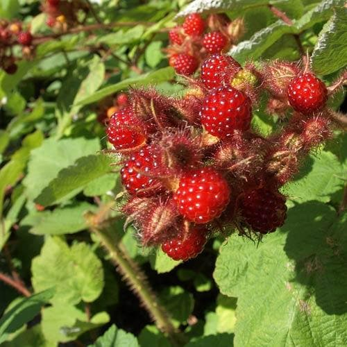 Japanese Wineberry - Rubus phoenicolasius - Future Forests