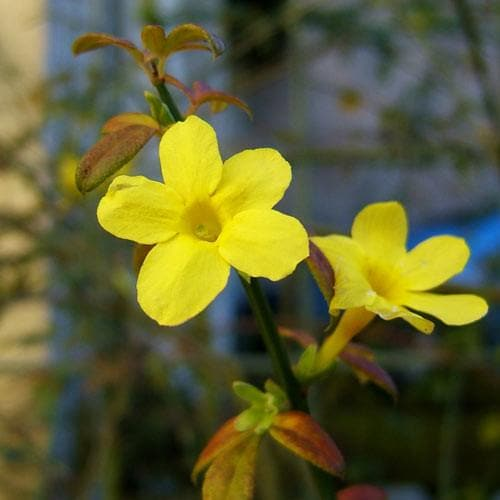 Jasminum nudiflorum - Future Forests
