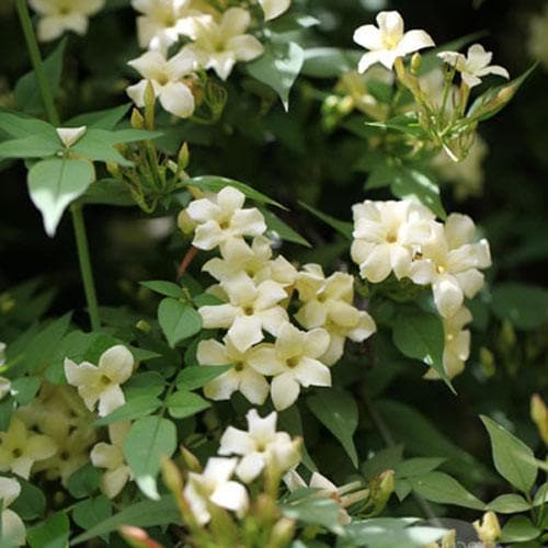 Jasminum officianale 'Clotted Cream' - Future Forests