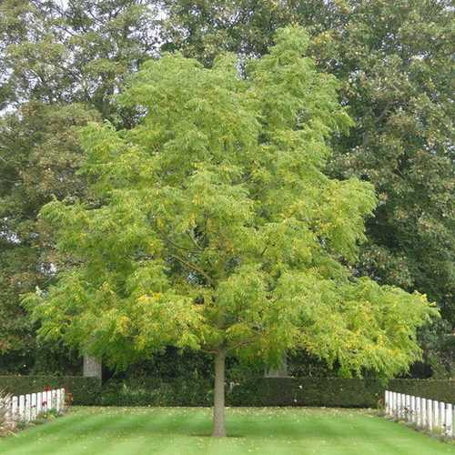 Juglans nigra - Black Walnut - Future Forests