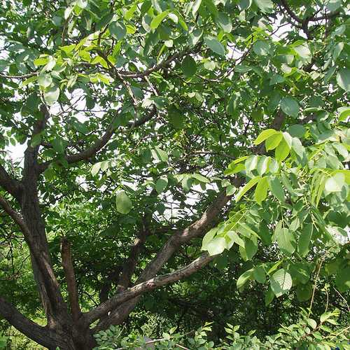 Juglans regia - European Walnut - Future Forests