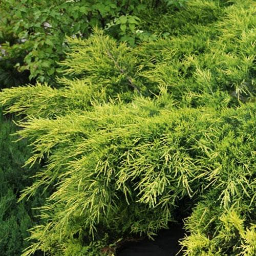 Juniperus x pfitzeriana King of Spring - Future Forests