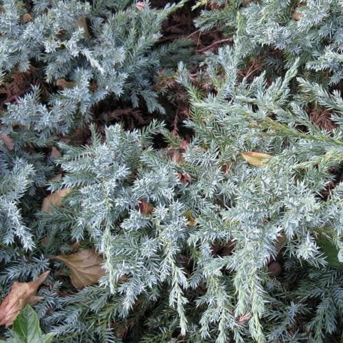 Juniperus squamata Blue Carpet - Future Forests