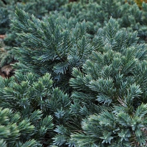 Juniperus squamata Blue Star - Future Forests