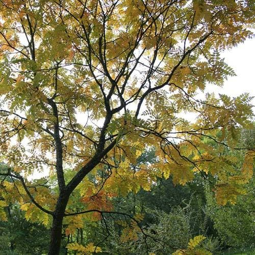 Koelreuteria paniculata - Pride of India - Future Forests