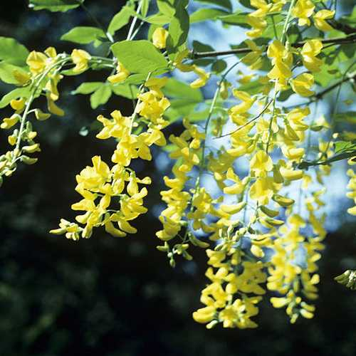 Laburnum x watereri Vossii - Golden Rain Tree - Future Forests