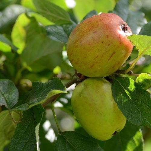 Apple Lady Finger of Offaly - Future Forests