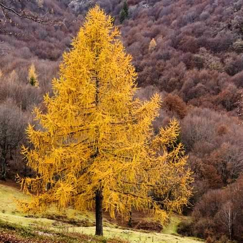 Larix decidua - European Larch - Future Forests