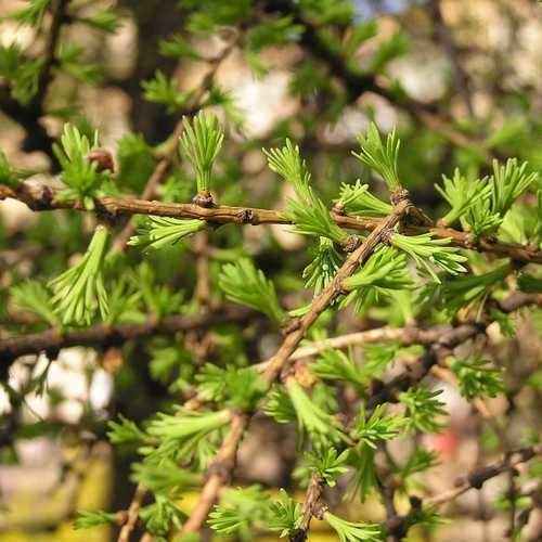 Larix x marschlinsii - Hybrid Larch - Future Forests